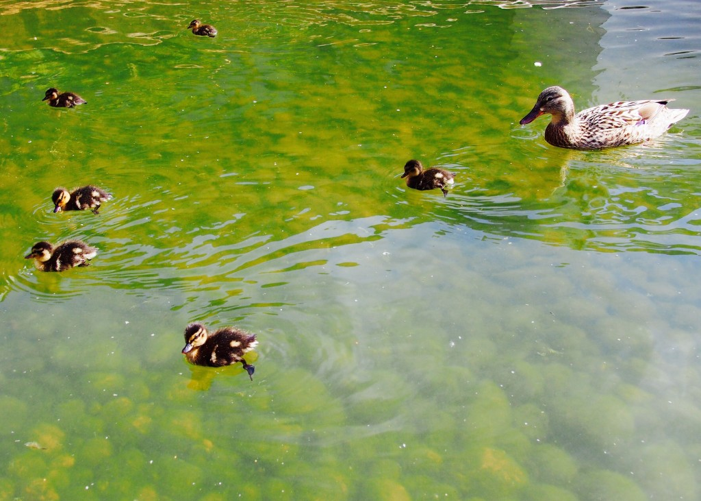 Duck Family on Gulbenkian Foundation, Lisbon :: Portugal