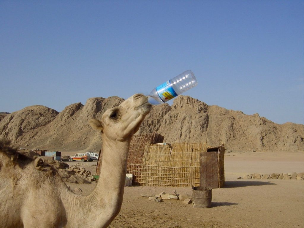 Camel drinking a bottle of water